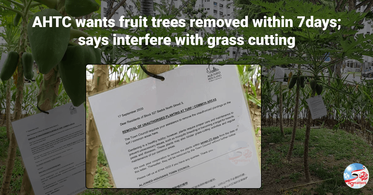 Aljunied-Hougang Town Council, Aljunied-Hougang Town Council wants papaya trees removed within 7 days; says they interfere with grass cutting